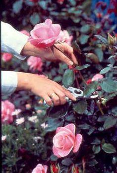 Roses   Today's Garden Ideas