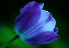 I want blue tulips for my wedding bouquet. I still have to get myself a groom though :)) Purple Tulips, Tulips Flowers, Blue Flowers, Art Flowers, Tulip Drawing, Tulip Painting, Tulip Tattoo, Cattleya Orchid, Red Vs Blue