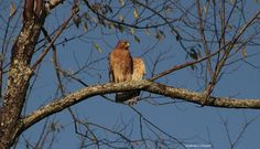 Good Morning Stretch by Andrea Cowart on Capture Memphis // A pair of red-shouldered hawks hanging out at work. This morning, I had camera ready and caught it stretching before I went in to work
