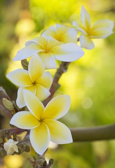 Plumeria, I can't wait to see them in Hawaii. I have my own plant but no flowers yet.