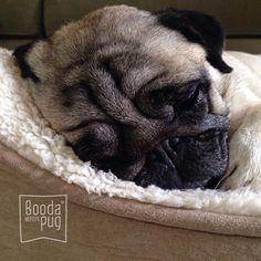 My little smushy face ❤️ #stella #pugs