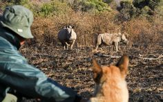 A new weapon has been launched in the fight against poaching in South Africa's game reserves - a specially trained dog. Russell the Belgian Malinois recently 'graduated' from the Mechem Training Centre in Pretoria and will use his super sense of smell to help track down poachers.