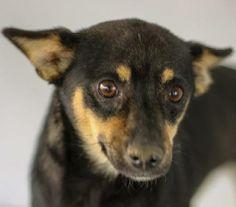 Meet Peanut-8215 a Petfinder adoptable Dachshund Dog | Wolfe City, TX | ~~~~~~~~~~~~~~~~~~~~~~~~~~~~~~~~~~~~~~~~~~~~~~~~~~~~~~~   The Frank Barchard Memorial Animal...