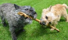 cairn terriers - Google Search