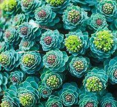 Rhodiola rosea - Roseroot