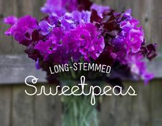Growing with plants: Sweet Luscious Sweet Peas - Confections on a Stick