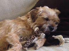 My little border terrier with her little jaguar. http://ift.tt/2qQCPdj