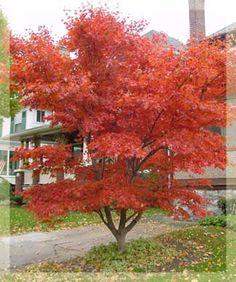 how to kill a japanese maple tree