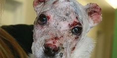 Justice for Nero: 7-week-old puppy set on fire; Find and Convict His Abuser>please sign and share petition.