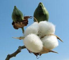 fiori e piante nel deserto arabo -fiori e piante nel deserto arabo - La pianta del Cotone è stata importata in Europa dagli Arabi Cerca con Google