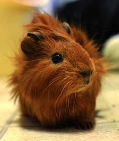 Cute red baby guinea pig