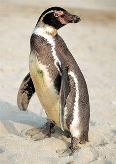 EL PINGUINO DE HUMBOLDT (Animales de la Costa del Perú)