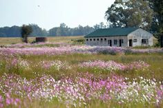 A field filled with beautiful Cosmos flowers from the Free State South Africa! Photo by Roenell Breedt