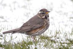diertjevandedag.classy.be vogels zangvogels eigenlijke%20zangvogels lijsters koperwiek.htm