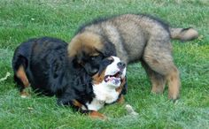 Chase the Leonberger & his Bernesse Mtn dog buddy!