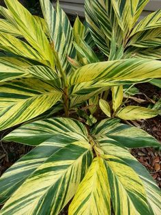 Green and yellow stripes on Ginger plant.