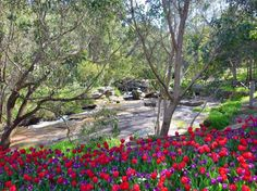 Araluen Botanic Park, Roleystone: Tulips in Spring Perth Australia, Western Australia, Botanic Park, Travel Bugs, Mother Nature, Tulips, The Good Place, Melbourne, Places To Visit