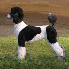 Parti-coloured standard poodle...PPPppllleeasseeeee, I want a large Parti standard soooooo bad!!! & a True (non-fading) Red and a Black and a Silver/Blue, then I''m ok.