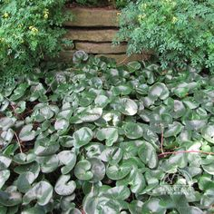 Top 10 Perennials for Shady Gardens (Dry Shade) European Wild Ginger (Asarum europaeum) Not many plants do well in dry shade. This is one of the most difficult garden areas to successfully populate with happy plants. However, the following list provides some of the best. Prepare the area with compost in order to improve the soil's ability to retain moisture. The plants may be less lush and not as floriferous as those grown under ideal conditions.