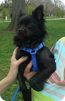 Nashville, TN - Chihuahua. Meet Brody a Dog for Adoption.