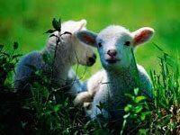 """"""" O Senhor é o meu pastor e nada me faltará"""" Salmo 23.1 A ovelha é um animal bastante peculiar, pois precisa de cuidados extremos. Não consegue sobreviver sem a presença de um cuidador..."""
