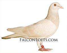 Pink Pigeon, Homing Pigeons, Pigeon Loft, Loft Design, Raptors, Lofts, Pakistan, Lemon, Wings