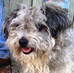 Milo is an adoptable Poodle Dog in Jacksonville, IL. Fuzzy wuzzy was a Milo.� Just a guess, Milo needs a hair cut, but oh what a sweetie buried under his handsome grey locks.� He's not matted but he c...