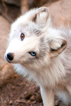 26 Unusual and Amazingly Cute Animals With Different Colored Eyes That Will Melt Your Heart Nature Animals, Animals And Pets, Baby Animals, Funny Animals, Cute Animals, Strange Animals, Cute Creatures, Beautiful Creatures, Animals Beautiful