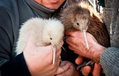 I want to hold a kiwi bird! They are SO adorable! I didn't know they were that big, I thought they were like little Beautiful Birds, Animals Beautiful, Animals And Pets, Baby Animals, Potnia Theron, Kiwi Bird, Flightless Bird, Paws And Claws, Tier Fotos