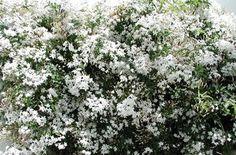 jasminum officianal - common jasmine