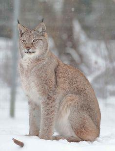 PHOTOS LYNX - Les-felins.com