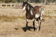 1/2 Welsh Pony of Cob Type (section C) stallion/gelding (?) Harry - dark bay overo (possibly frame + sabino)
