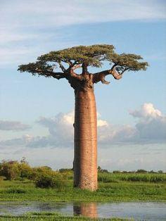 B… Savanna Main Trees | Almm's African Savanna: Environment