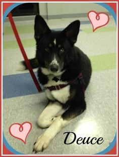 Check out Deuce's profile on AllPaws.com and help him get adopted! Deuce is an adorable Dog that needs a new home. https://www.allpaws.com/adopt-a-dog/husky-mix-border-collie/3553232?social_ref=pinterest