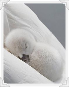 Sweet fluffy white Cygnet nestled in his mother's wings so white!