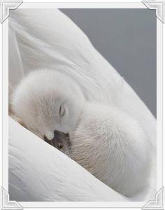 Sweet fluffy white Cygnet nestled in his mother's wings so white!