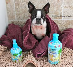 Sinead the Boston terrier smells so sweet after her bath. See what products she's using. #sponsored