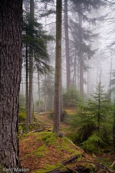 #12 OLD GROWTH RED SPRUCE FOREST #4, GAUDINEER SCENIC AREA, WV © KENT MASON