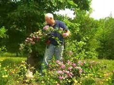 """We've all heard the phrase """"pegging a rose"""" but what does it really mean?  This video shows you how to peg a rose to get maximum """"bloom-o-rama"""" from your rose bushes"""