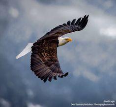 American Bald Eagle by Don Berman