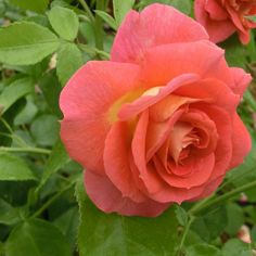 ~Rosa 'Sommersonne' (Germany, before 2008)