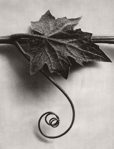 "Karl Blossfeldt :: Bryonia alba (White bryony, with leaf) B, Pinakothek der Moderne, München / src: Michael Hoppen Gallery ""From Blossfeldt taught sculpture based on natural plant. Karl Blossfeldt, Natural Form Artists, Natural Forms, Natural Structures, Organic Form, Organic Shapes, Botanical Art, Botanical Illustration, Fine Art Photography"