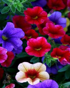 Beautiful Petunias - they used to be old fashioned 'n ordinary, not any more. Flower Bed Plants, Flowering Plants, Foliage Plants, Flower Pots, Planting Flowers, Summer Flowers, Love Flowers, Beautiful Flowers, Wedding Flowers