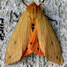 Isabella Tiger Moth or Banded Woolybear Pyrrharctia isabella (J. Wooly Bear Caterpillar, Tiger Moth, Curl Styles, Warm Fuzzies, Love Bear, Chest Tattoo, Beautiful Butterflies, Insects, Cute Animals