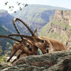 Amazing Photos From Around The World  ala badirkhan Discussion  -  11:03 AM wild goats in barzan area -kurdistan