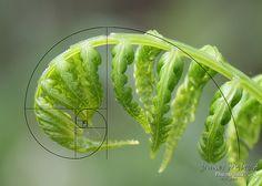 fibonacci spiral - Google Search