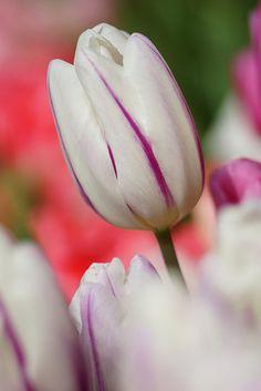 /Tulipa gesneriana