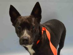 MATILDA - A1038929 - - Brooklyn  TO BE DESTROYED –  06/10/15 NEW HOPE ONLY! Matilda is clearly a bit overwhelmed and confused and who can blame her. She's a small girl, and middle-aged and likely had a home. While we do not know what her past behavior was like, we do know that she did not like having her paws squeezed by a stranger and also was a bit possessive of her food and toys. This is not uncommon and surely no reason for Matilda to lose her life but the shelt