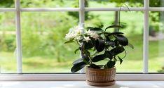 jasmine room plant on windowsill