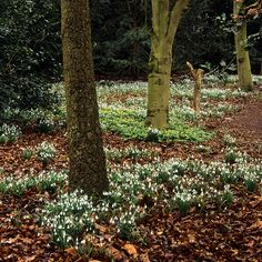 Carpets of snowdrops at Anglesey Abbey Gardens, Cambridgeshire, England | A National Trust garden designed for vibrant winter colors and interest (7 of 9) | Flickr - Photo Sharing!